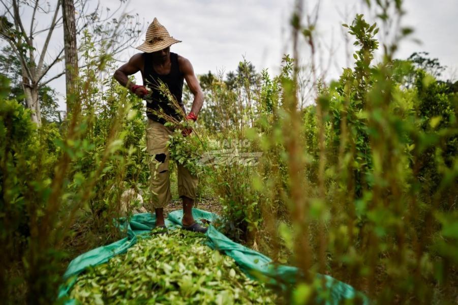 La ONU observa una ligera reducción de cultivos de coca en Colombia