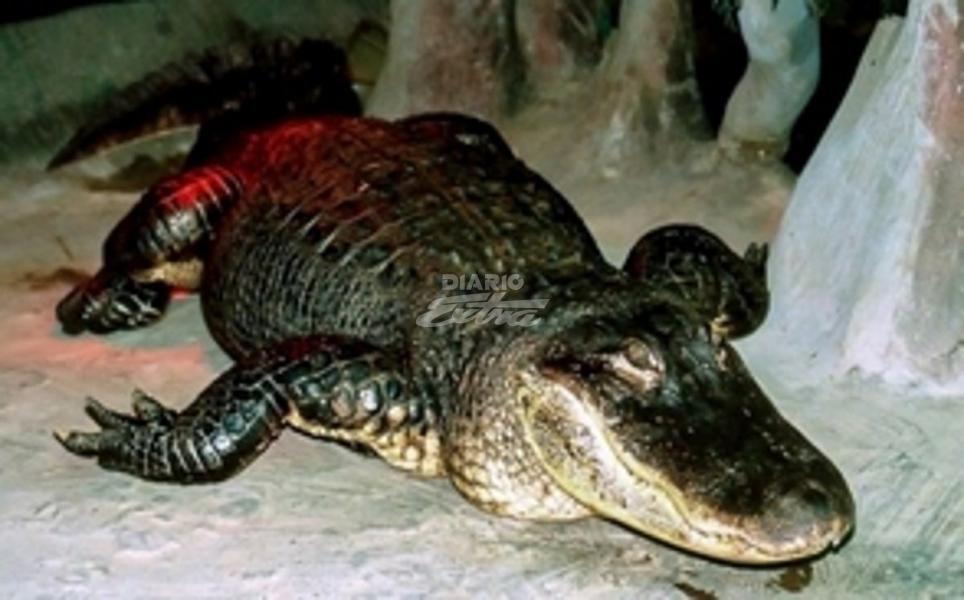Murió Saturno, el caimán que era de Adolf Hitler